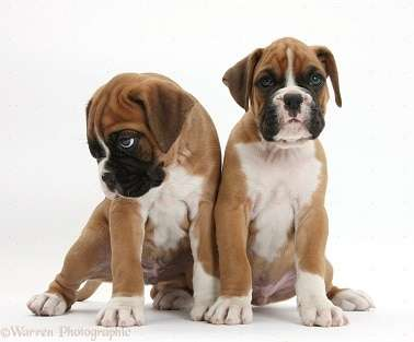 two boxer puppies sitting white backgroun