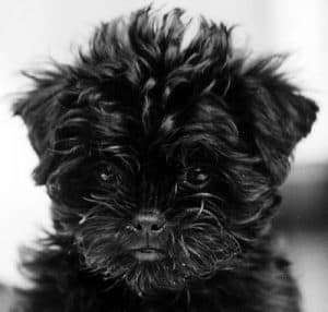 affenpinscher-puppies