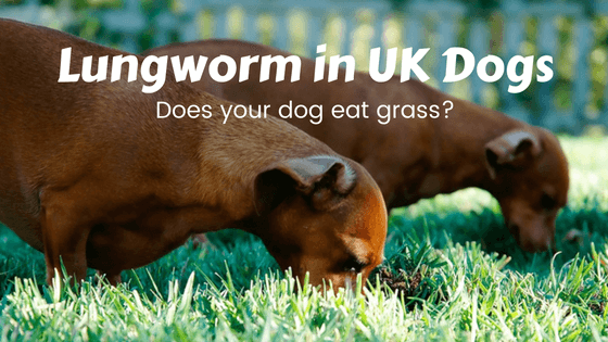 Lungworm in UK dogs