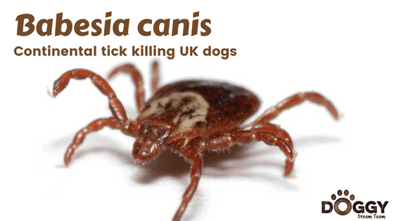 babesia canis tick header image