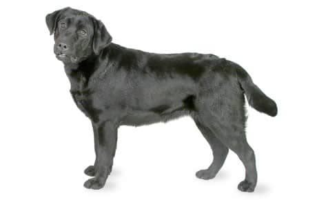black labradoor retriever dog