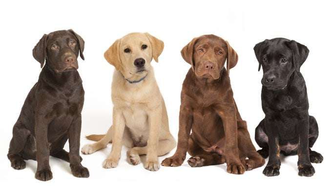 4 different colored Labrador puppys