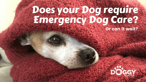 emergency dog care - chihuahua in red blanket