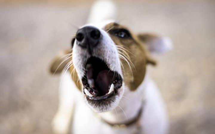 barking-jack-russell