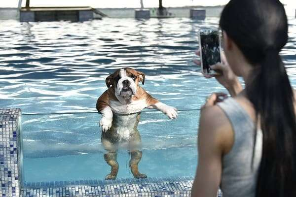 bulldog in pool getting its photo taken