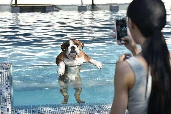 bulldog in pool getting its photo taken