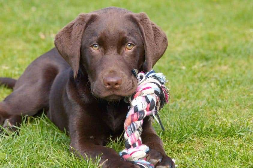 chocolate labrador puppy with toy