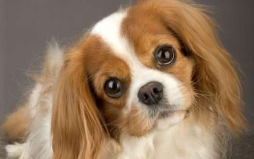 king-charles-spaniel-puppy