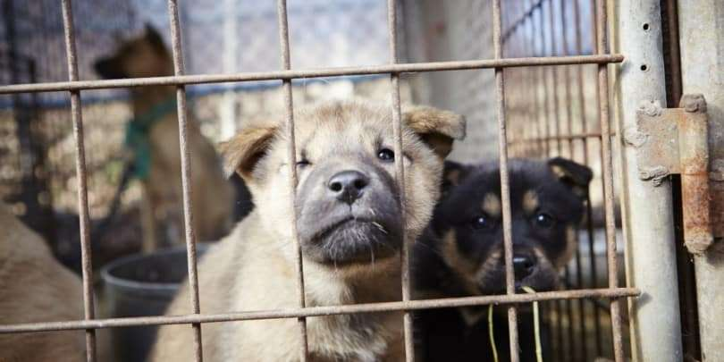 puppy-farming. puppy dogs in a cage