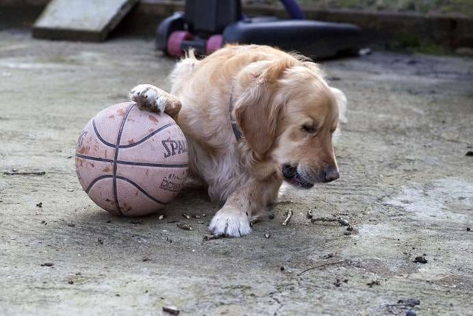 golden retriever dog playing basketball