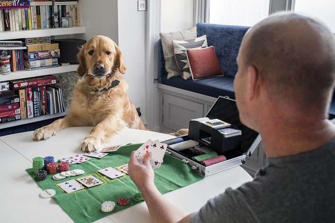 goledn retriever dog playing poker