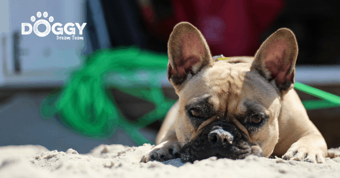 pet-insurance for french bulldogs - hero image