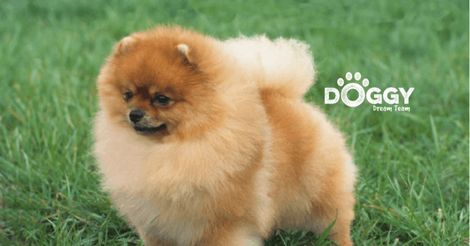 pet-insurance for Pomeranian dog - hero image