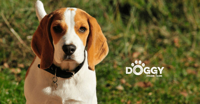pet-insurance for beagle dog - hero image
