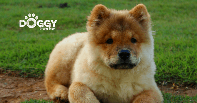 pet-insurance for chow-chow dog - hero image