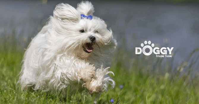 pet-insurance for maltese-terriers - hero image