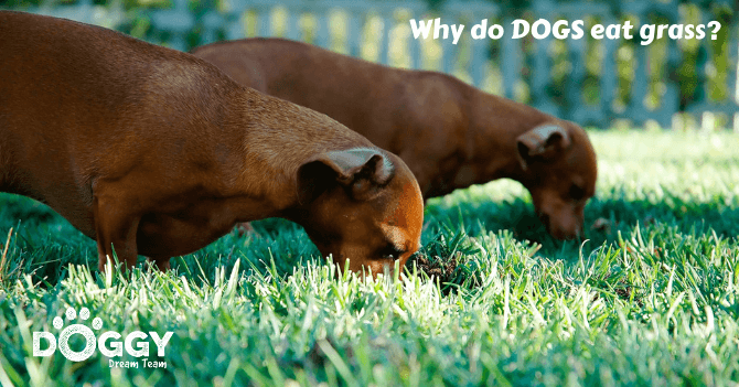 dachshunds-sausage-dogs-eating-grass