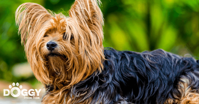 pet-insurance for Yorkshire Terriers - hero image