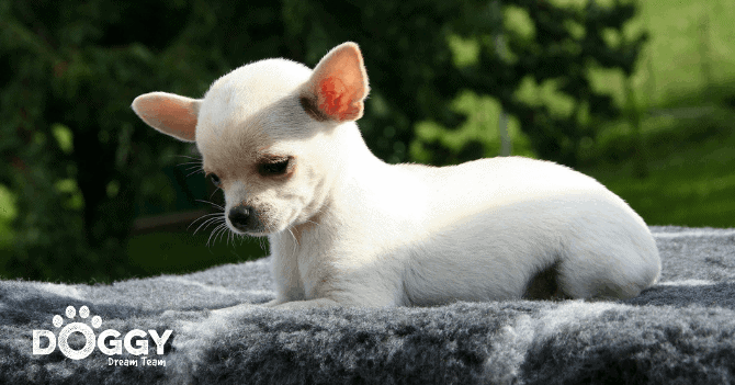 pet-insurance for chihuahua - hero image