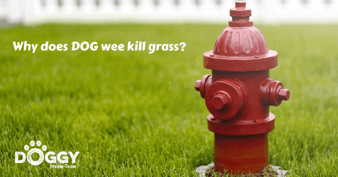 Why does DOG wee kill grass hero image