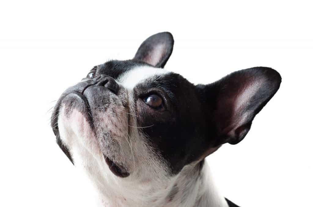 dog, frenchie, bulldog