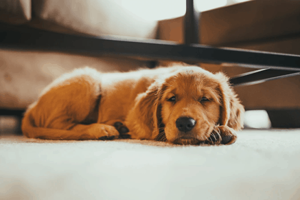 how to teach a puppy to lay down