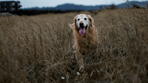 dog air drying