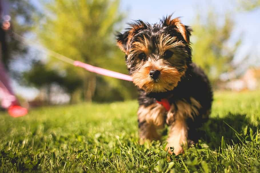 potty training a morkie