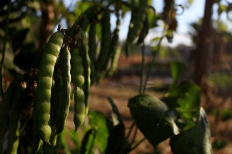 jicama plant is dog friendly