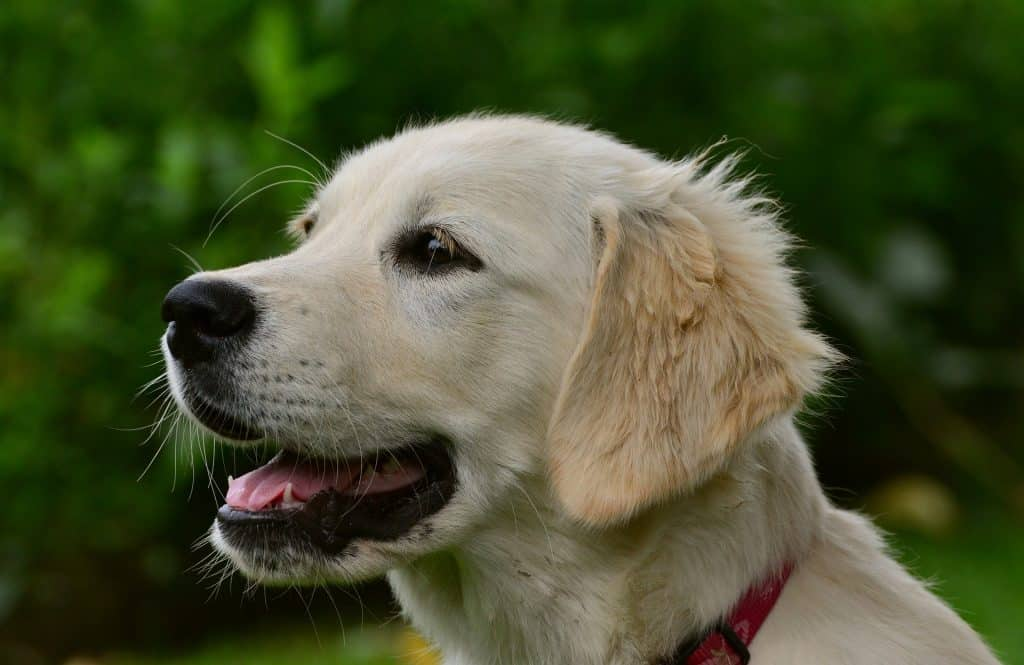 are golden retrievers good apartment dogs