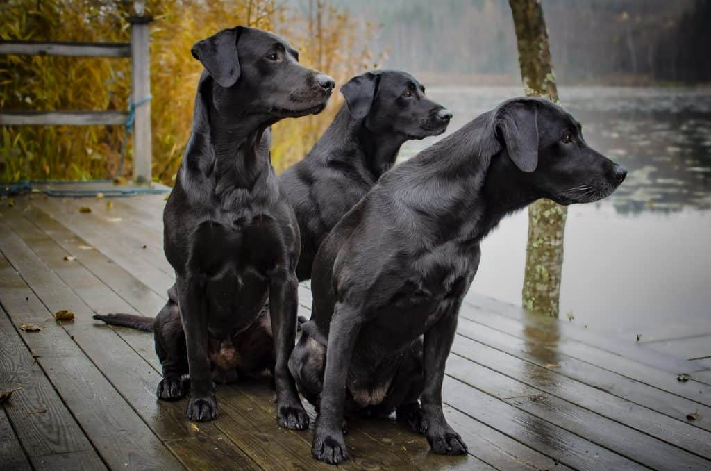 are labradors good guard dogs