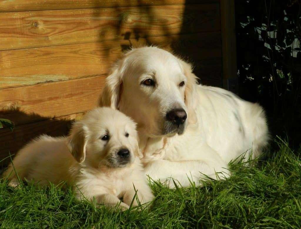 are labradors golden retrievers
